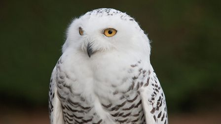 The Snowy owl. Picture: Jerry Daws