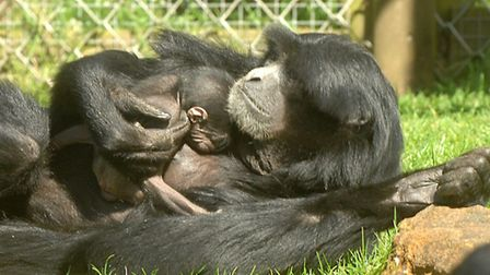 A baby Siamang Gibbon baby with its mum at Banham Zoo. Picture: Denise Bradley