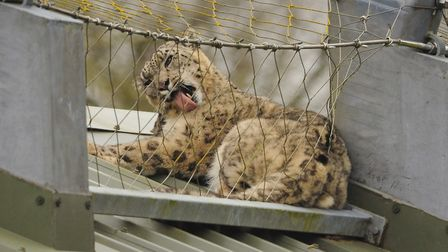 The 50th anniversary of Banham Zoo. One of the snow leopards up on the enclosure roof. Picture: DENI