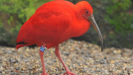 The 50th anniversary of Banham Zoo. A Scarlet Ibis. Picture: DENISE BRADLEY