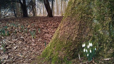 Images of snowdrops in Greyfriars Wood, Dunwich, by Alison Connors.