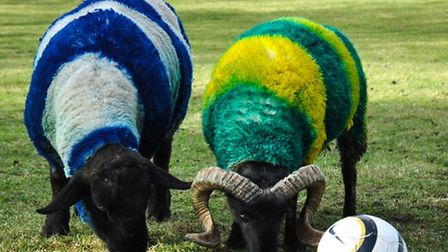 The sheep and ram at Easton and Otley College painted in the ITFC and NCFC colours ahead of the Old