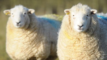 Devon Closewool sheep have been introduced to East Anglia for the first time. Picture: James Bass