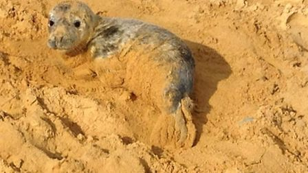 A baby seal which was found in Thorpeness on Friday, January 30