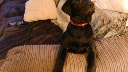Buster the 5-month-old labrador who died in a house fire in Prigg Walk, Bury St Edmunds