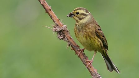 A female yellowhammer perched on a branch.