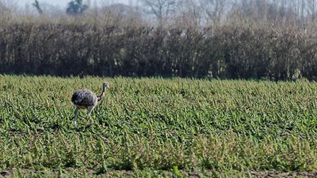 Tony Nelson took this photo of what he has identified as a rhea close to the water tower just outsid