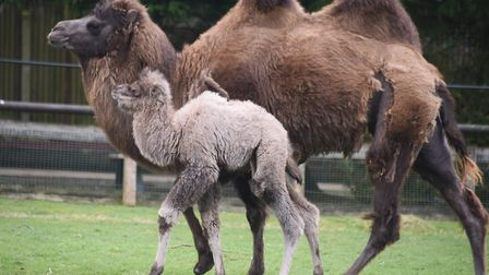 The 50th anniversary of Banham Zoo. The one-week-old baby camel and his mother. Picture: DENISE BRAD