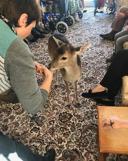 Orphan deer John enjoys being fed slices of orange during his visit to a care home in Dickleburgh. P