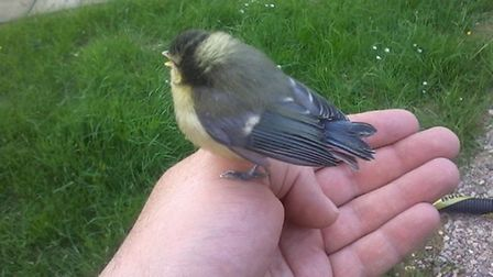 One of the two blue tit chicks.