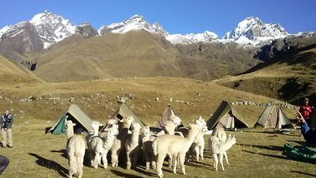 Alpacas have been reintroduced to the Ancascocha people in after 200 years.