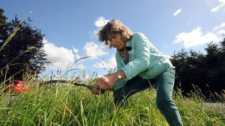 Zena Gravener is cutting the central grass verge on Old London Road, Copdock, with a sickle.