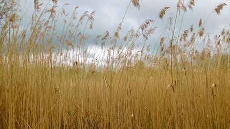 Winter reeds at Roydon Fena where there is a one-mile trail, but make sure you wear wellies. Picture