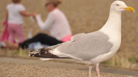 Gulls gather around visitors eating fish and chips on the beach in Aldeburgh.