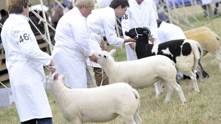 Sheep are judged at last year's Tendring Hundred Show.