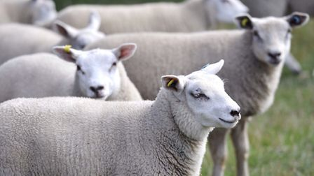 Lamb and mutton production is up, figures show.