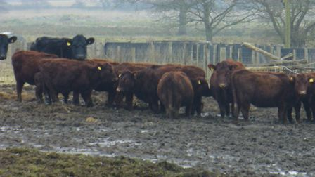 Cattle standing in a rain-soaked field at Eric Moss' farm