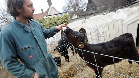 Jonathan Crickmore pets one of his cows at his farm in Bungay where he produces unpasteurised milk f
