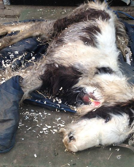 Gizmo the foal, found apparently abandoned in Ridgewell