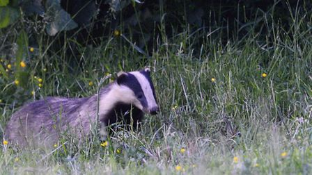 Badgers are reportedly on the road in Wickham Market.