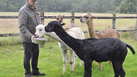 Lee Smith feeds his four remaining alpacas the day after Galaxy had to be put down after being attac