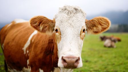 A cow and a calf died on Sunday evening after a car hit them between Diss and Needham. PHOTO: Getty