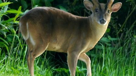 Once a rare sight, muntjac deer have become increasingly common in urban areas. Picture: Susan Oldfi