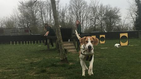 Foxhound Henry shpowing he is full of energy at Dogs Trust Snetterton in South Norfolk. Picture: Dog