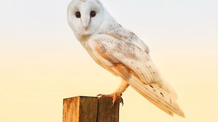 The image of a barn owl taken near Hapton that will feature in the Wilko calendar. Picture: Tom Welt
