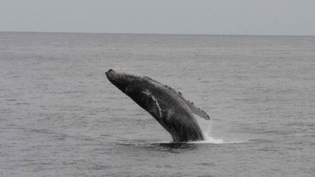 Scientists are predicting a humpback whale could be seen off Suffolk this autumn. Photo: Peter Evans