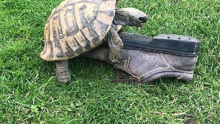 Timmy the loveless tortoise from Diss is so desperate for a mate he has taken a shine to a shoe. Pic