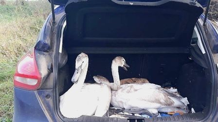 Two young swans were rescued from the A140 by wildlife experts and passing motorists. Picture: Earsh