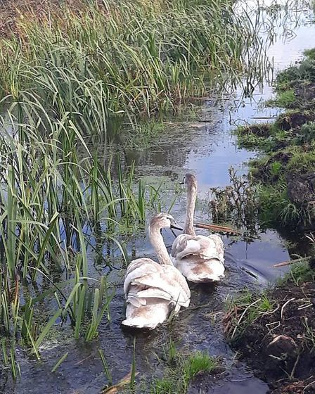 The two cygnets rescued from the A140 after being released at Dickleburgh Moor wetland reserve. Pict