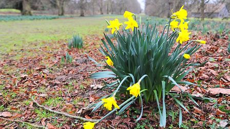 Lonely Daffodills at Nowton Park.