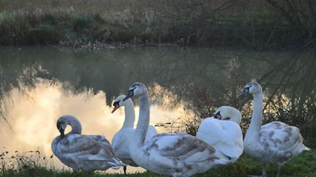 Swans - outrage as swans killed in Sudbury Meadows