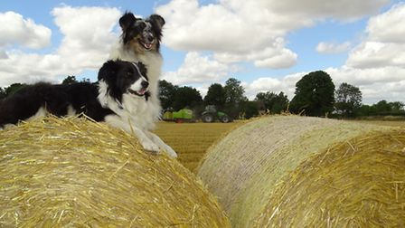 Dogs Ellie and Tanzie on straw bales during harvest.