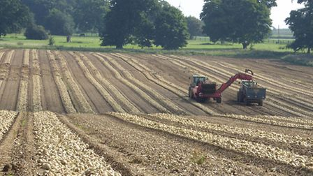Onions being harvested at Bradfield St Clare.