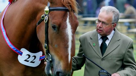Suffolk Punch judging in the Presidents Ring at the Suffolk Show 2016