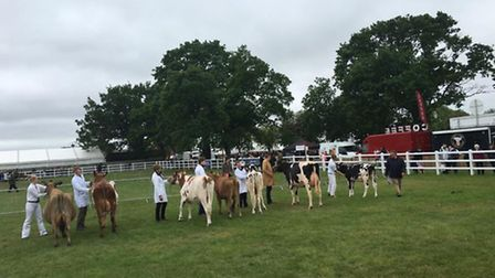 The seniors in action showing their cattle at the Suffolk Show.