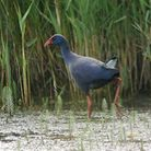 The purple swamp-hen, captured on camera at Minsmere by Craig Shaw Photo: Craig Shaw