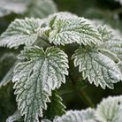 Frost on the plants. Photo by Julie Kemp