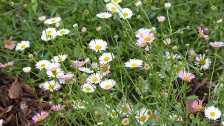 Ground cover plants such as Mexican Fleabane will elbow out the weeds