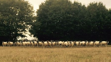The new flock of sheep arriving at the Otley campus on the new farmland that the college has acquire