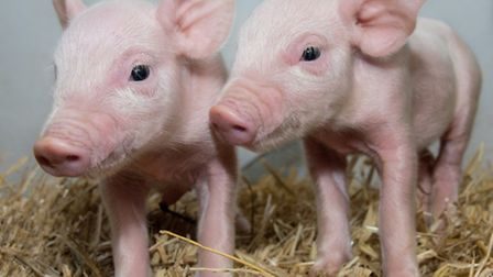 Scientists at the University of Edinburgh�s Roslin Institute have produced pigs that may be protecte
