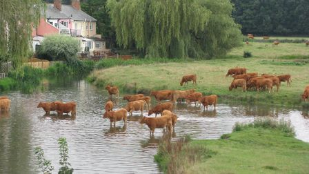 Cattle at Sudbury water meadows. Picture: Angie Jones