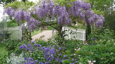 Wisteria at Peppers Farm, Sible Hedingham, April 30. Photo: Contributed