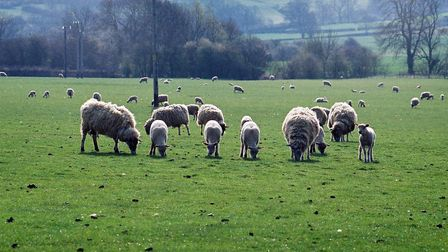 The Co-op Group has pledged to stock 100% British lamb.