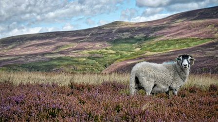 A photo of a Swaledale ewe amongst the heather on a Derbyshire hill farm, taken and donated by Ashbo