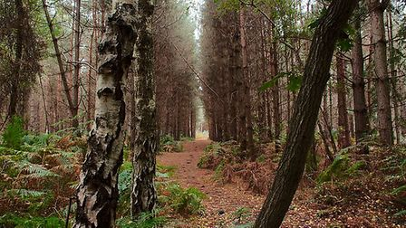 The stunning Rendlesham Forest is great for a family day out. Picture: TIM DENNEY