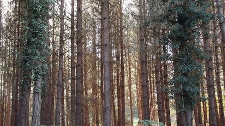 The peaceful Thetford Forest is great for picnics, bike rides and walks. Picture: EVE STONEBURGH